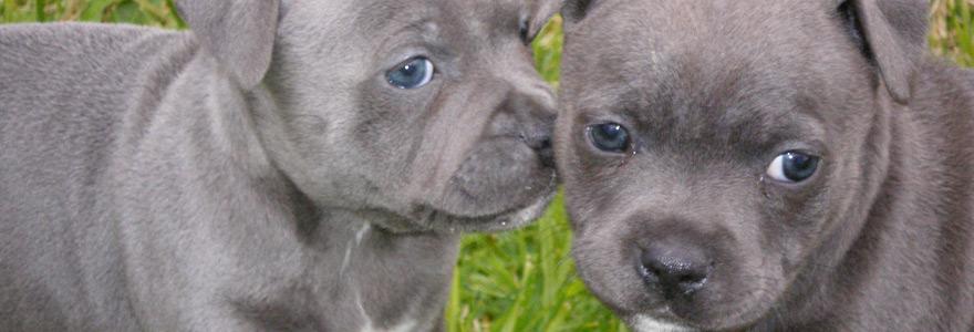 Happy Staffy | Grozbolt Staffordshire Bull Terriers